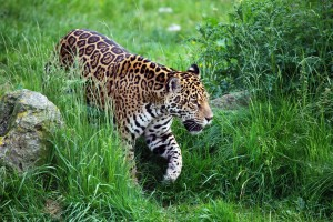 jaguar -2